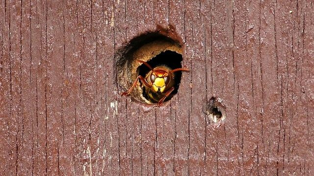 Post Photo for Murder Hornets Found in the U.S. for the First Time