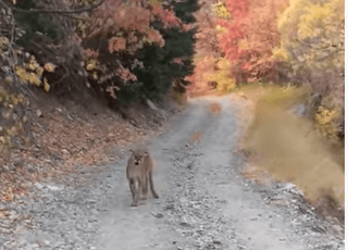 Post Photo for VIDEO: Mountain lion follows man on Utah trail for six scary minutes