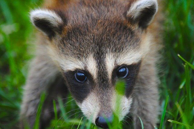 Post Photo for VIDEO: CNN reporter fends off raccoon on White House lawn