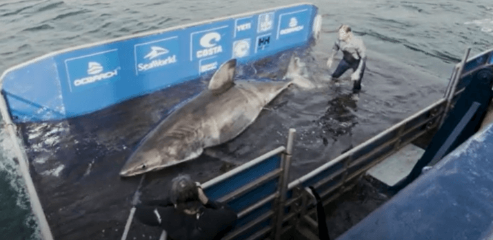 Post Photo for Jordan Davis Helped Tag a 3,500-Pound Shark