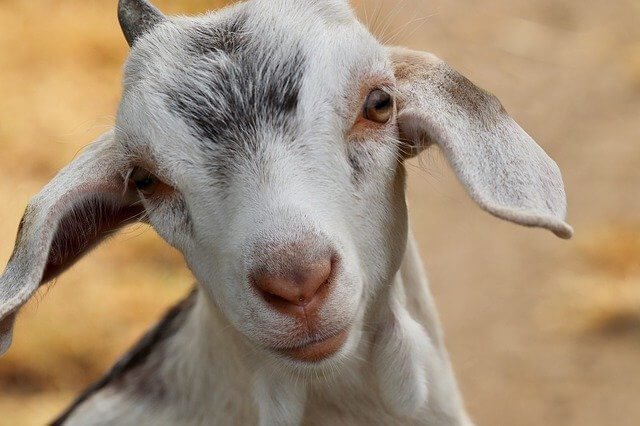 Post Photo for A Woman Is Facing Felony Charges for Stealing and Painting a Neighbor's Goat