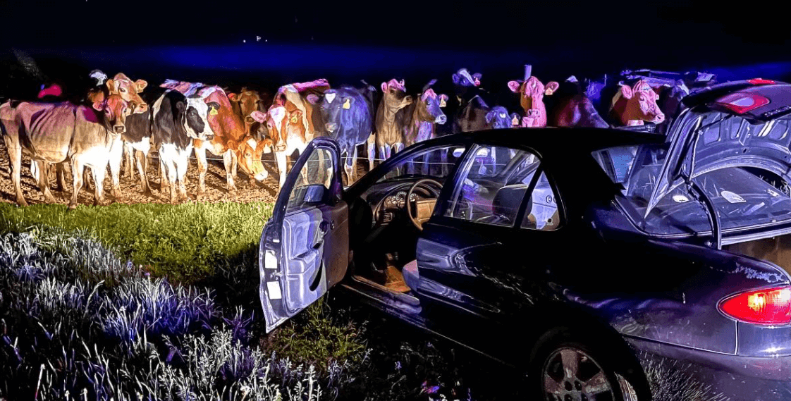 Post Photo for Cattle In Wisconsin Assist In Vehicle Pursuit