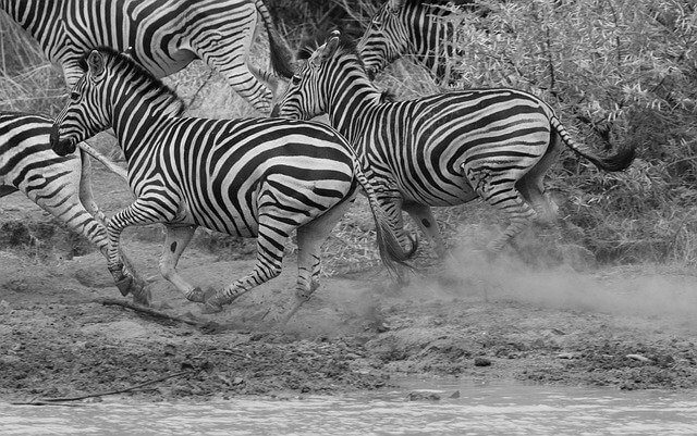 Post Photo for WEIRD NEWS: Zebras On the Lam