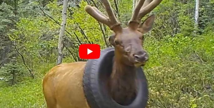 Post Photo for Colorado Elk Freed Of Car Tire